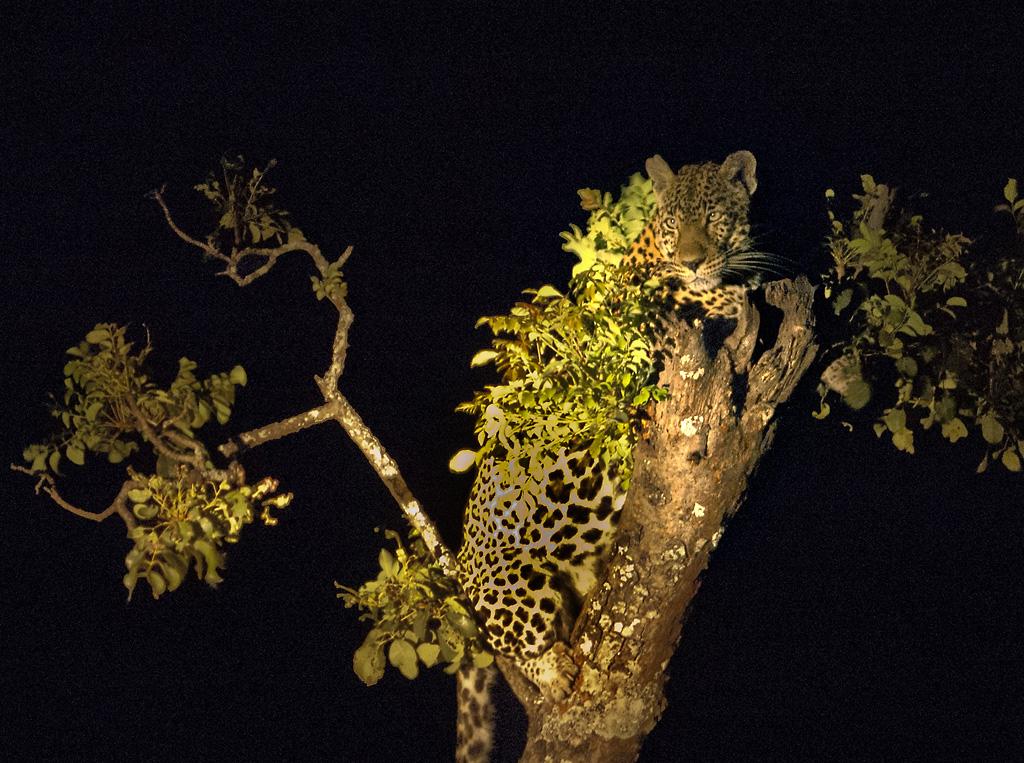 LeopardInTreeDSC_0447
