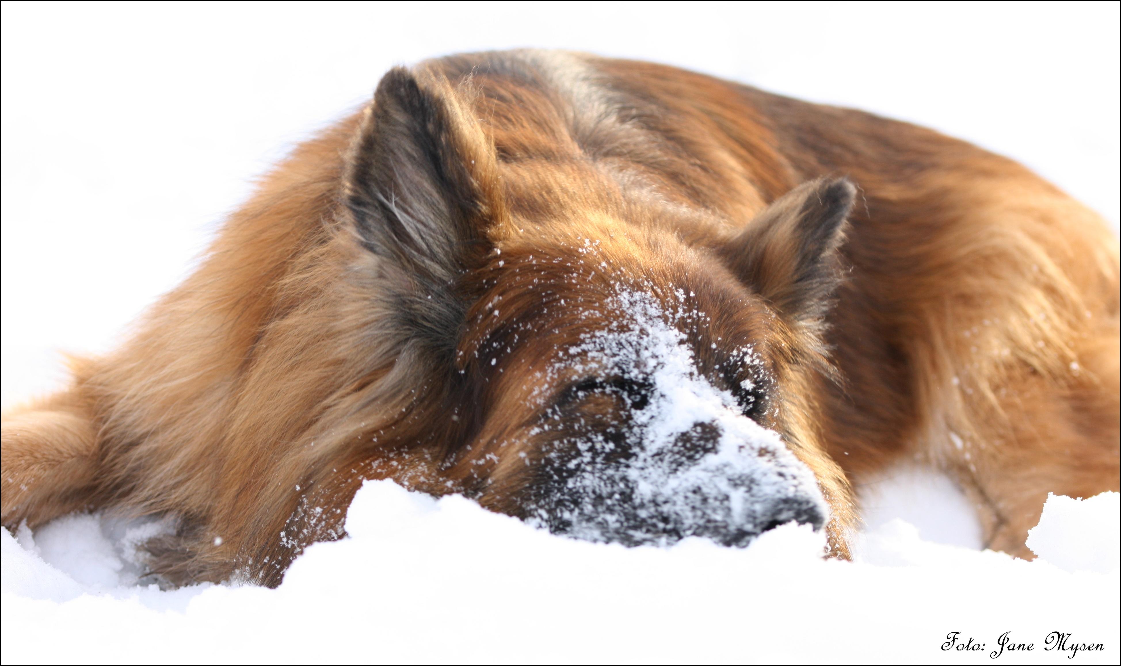 Connie har alltid vært så glad i snø. Her aker hun seg bortover med snuta først