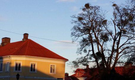 Misteltein i trærne brakkene på Karljohansvern