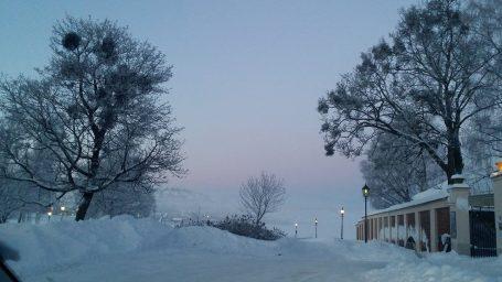 Misteltein i trærne vinter
