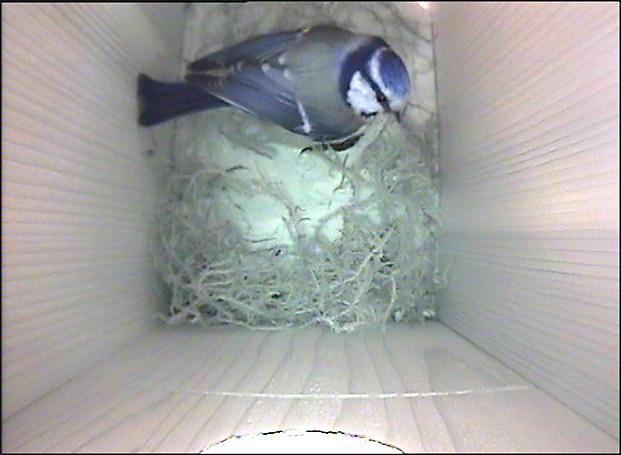 Blåmeis i fuglekasse