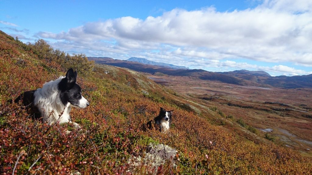 Hundene våre, Milo og Buddy, på «jobb» i fjellet.