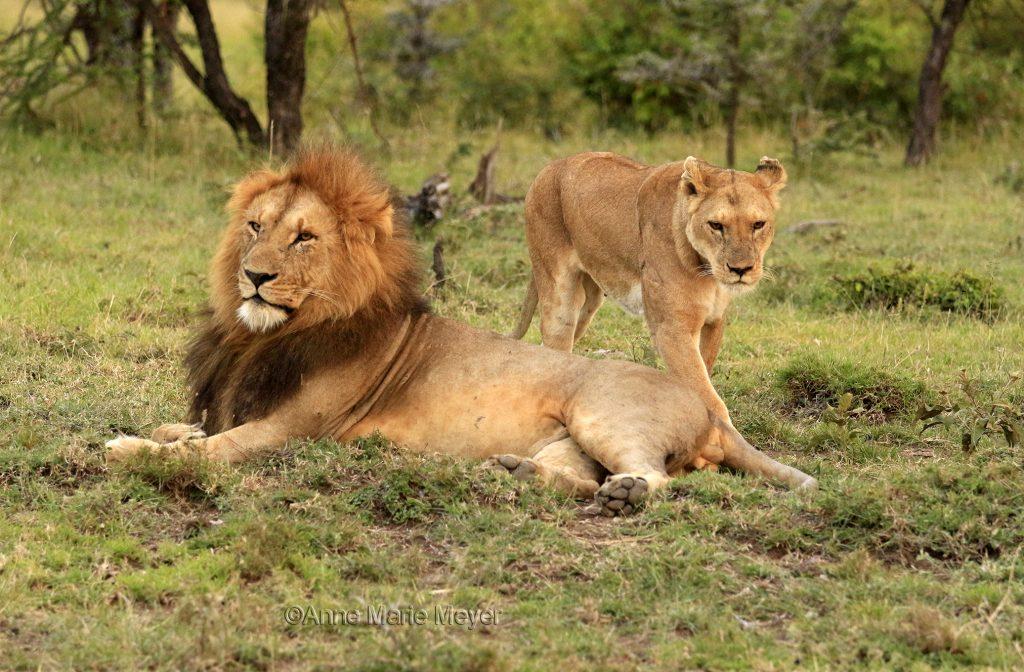 Løvekonge og løvedronning