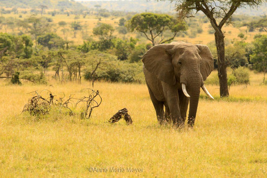 Majestetisk elefant
